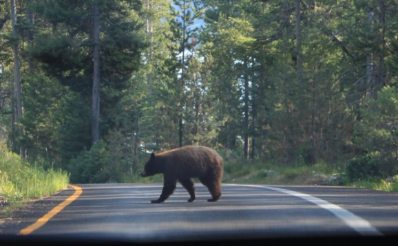 Bear encounter at Grand Teton